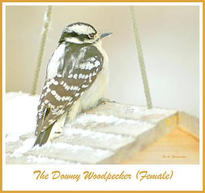 From The Kitchen - Downy Woodpecker Female in Winter by A Macarthur Gurmankin