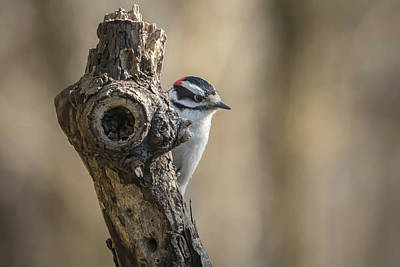 Photograph - Downy Woodpecker Img 1 by Bruce Pritchett
