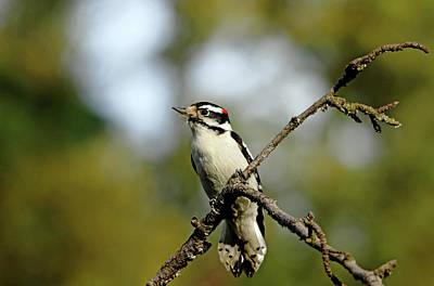 Photograph - Downy Woodpecker In Fall by Debbie Oppermann