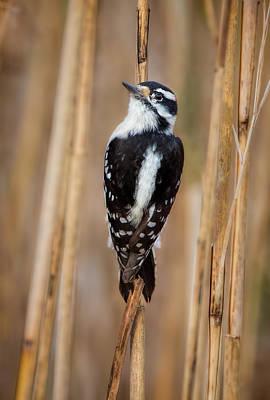 Wall Art - Photograph - Downy Woodpecker In The Tall Grass by Martin Belan