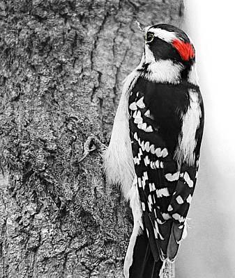 Photograph - Downy Woodpecker by Kathy M Krause