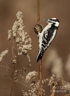 Picoides Pubescens Photograph - Downy Woodpecker On Goldenrod Gall by Marie Read