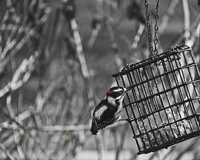Photograph - Downy Woodpecker On Suet Cage by Judy Wanamaker