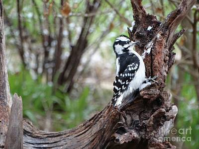 Photograph - Downy Woodpecker by Rebecca Overton