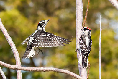 Photograph - Downy Woodpecker Showoff by Phil Stone
