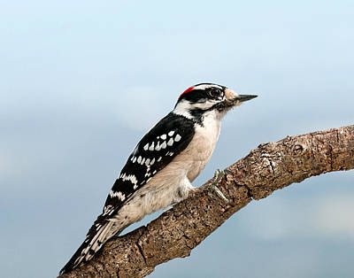 Picoides Pubescens Photograph - Downy Woodpecker Spring 2016 1 by Lara Ellis