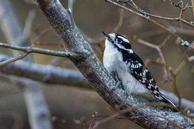 Photograph - Downy Woodpecker by Steve Gravano