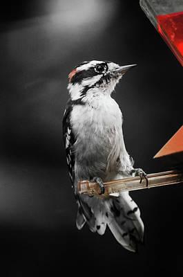 Photograph - Downy Woodpecker by Susan McMenamin
