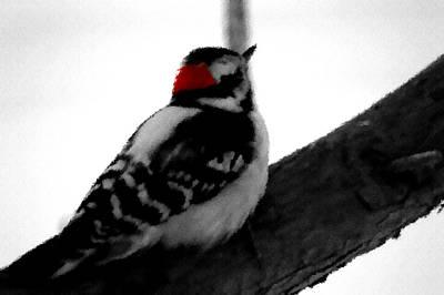 Digital Art - Downy Woodpecker Watercolor by Aliceann Carlton