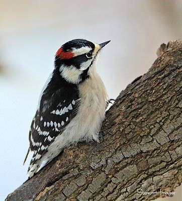 Photograph - Downy Woodpecker by William Stewart