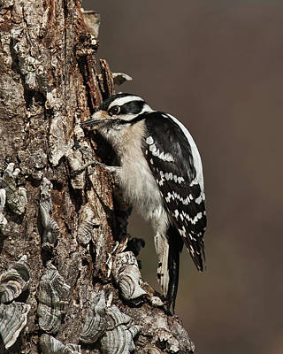 Picoides Pubescens Photograph - Downy Woodpecker's Secret Stash by Lara Ellis