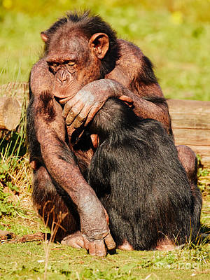Photograph - Dozing Nursing Chimpanzee by Nick  Biemans