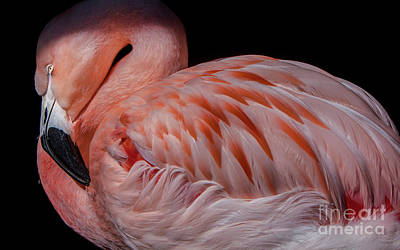 Flamingo Photograph - Dozing Off by David Millenheft