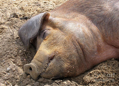 Photograph - Dozing Pig by Ann Horn