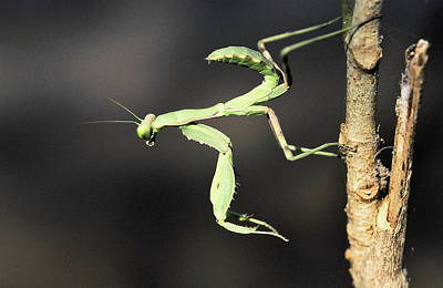 Photograph - Praying Mantis  by Manjot Singh Sachdeva