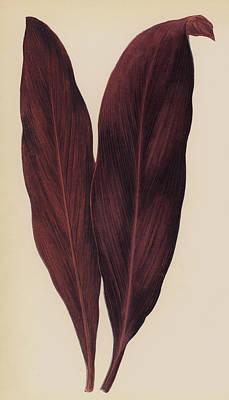 Botanical Drawing - Dracaena Ferrea by English School