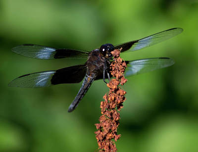 Photograph - Dragon Fly 1 by Buddy Scott
