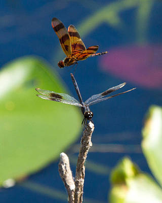 Photograph - Dragon Fly 195 by Michael Fryd
