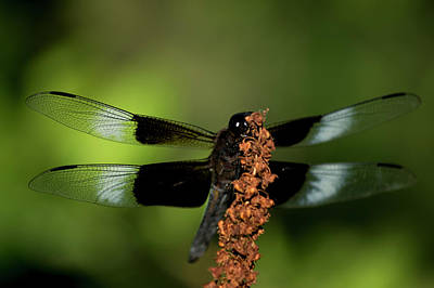 Photograph - Dragon Fly 3 by Buddy Scott