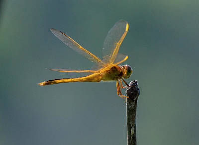 Photograph - Dragon Fly 5 by Buddy Scott