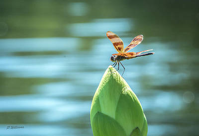 Photograph - Dragon Fly - 5 by Pamela Williams