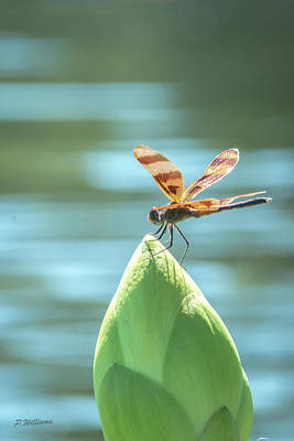 Photograph - Dragon Fly - 6 by Pamela Williams