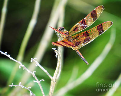 Photograph - Dragon Fly by Dawn Gari