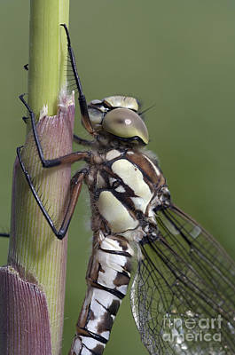Damsel Fly Photograph - Dragon Fly by Michal Boubin