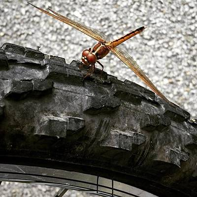 Macro Photograph - Dragon Fly Perched On Bicycle Tire by Juan Silva