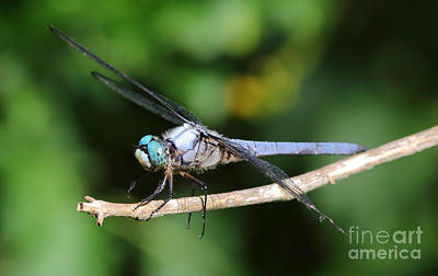 Photograph - Dragonfly Portrait by Kevin McCarthy