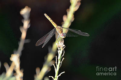 Photograph - Dragon On The Fly Or Dragonfly by Debby Pueschel