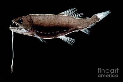 Pelagos Photograph - Dragonfish by Dant� Fenolio