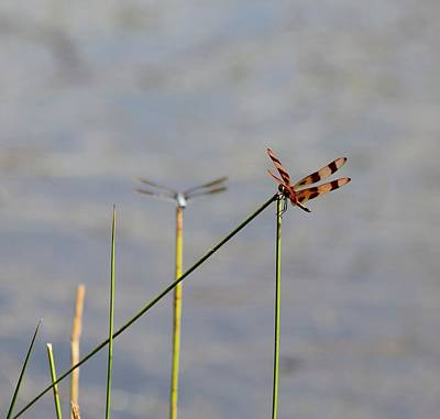 Photograph - Dragonflies by Katherine White