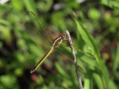 Photograph - Dragonfly - 1 by Jeffrey Peterson