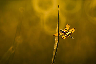 dragonfly 001 Rhyothemis variegata arria Original