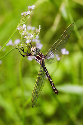 Photograph - Dragonfly 0055 by Kevin Chippindall