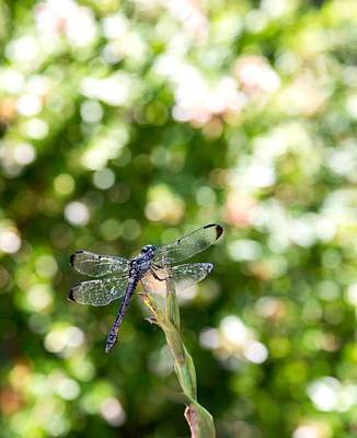 Photograph - Dragonfly-1 by Charles Hite