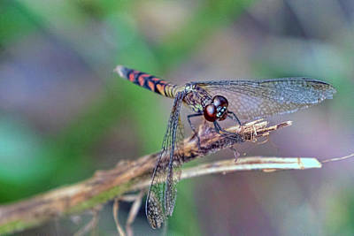 Photograph - Dragonfly 1 by Nadia Sanowar