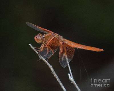 Photograph - Dragonfly 11 by Christy Garavetto