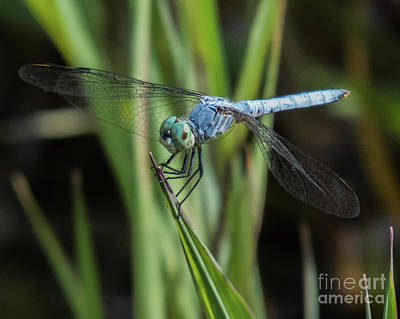 Photograph - Dragonfly 13 by Christy Garavetto