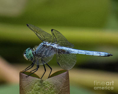 Photograph - Dragonfly 14 by Christy Garavetto