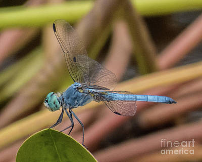 Photograph - Dragonfly 16 by Christy Garavetto