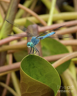 Photograph - Dragonfly 17 by Christy Garavetto