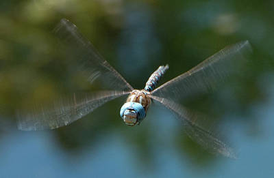 Photograph - Dragonfly In Flight 2 by Marilyn Wilson