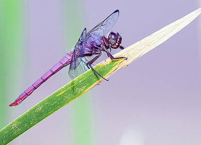 Photograph - Roseate Skimmer Dragonfly 2522-071715-2cr by Tam Ryan