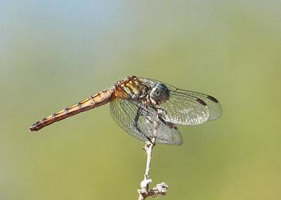 Photograph - Dragonfly 4 by Greg Wickenburg
