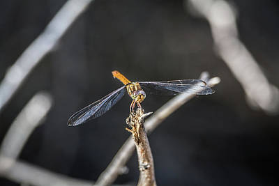 Photograph - Dragonfly 4296-080917-1 by Tam Ryan