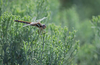 Photograph - Dragonfly 5 by Rick Mosher