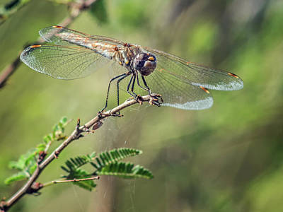 Photograph - Variegated Meadowhawk Female 7635-101417-1cr by Tam Ryan