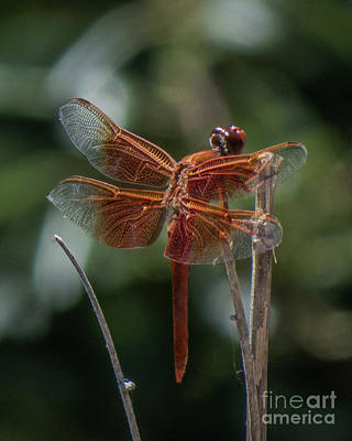 Photograph - Dragonfly 9 by Christy Garavetto